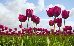 fioletowy pola tulipan Obraz Stock