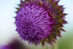 fioletowy wildflower Zdjęcia Stock