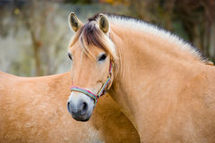 Fiord horse Stock Photos