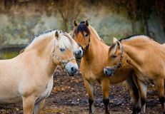 Fiord horses Royalty Free Stock Photo
