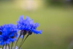 Fiordalisi nel giardino su un fondo di erba verde Fotografia Stock