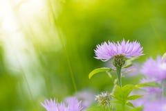 Fiordalisi porpora su un bello fondo verde con spazio per testo I fiori nel giusto angolo inferiore Fotografie Stock Libere da Diritti