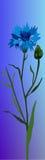 Fiordaliso del fiore illustrazione di stock