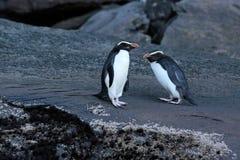 Fiordland Crested il pinguino (pachyrhynchus del Eudyptes) Immagini Stock