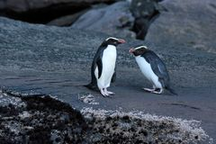 Fiordland Crested Penguin (Eudyptes pachyrhynchus) Stock Images
