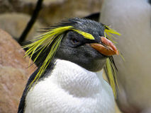 Fiordland Penguin. Closeup of the head of a long eyebrow penguin in Aquarium, Cape Town, South Africa Stock Photo