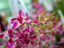 Fiore 01 dell'orchidea Fotografia Stock Libera da Diritti