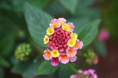 Fiore 06 della Costa Rica Fotografie Stock