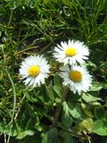 Fiore abbastanza bianco Fotografie Stock Libere da Diritti