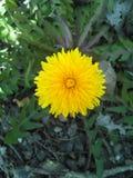 Fiore abbastanza giallo Fotografia Stock Libera da Diritti