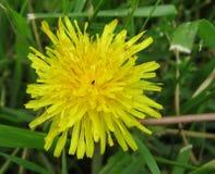 Fiore abbastanza giallo - supporti da solo Immagine Stock Libera da Diritti