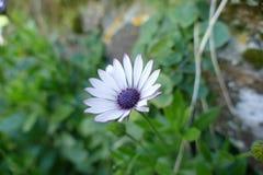 Fiore abbastanza porpora fotografia stock libera da diritti