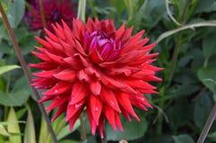 Fiore abbastanza rosso immagine stock libera da diritti