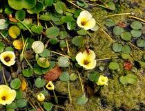 Fiore acquatico immagini stock