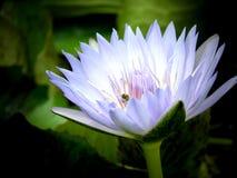 Fiore acquatico bianco e viola del giglio con la parte posteriore di buio Immagine Stock
