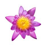 Fiore acquatico della flora di Lotus isolato fotografia stock