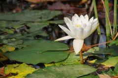Fiore acquatico di Waterlily (nymphaea alba) fotografia stock