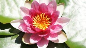 Fiore acquatico nei giardini di Mosen Cinto Verdaguer fotografia stock