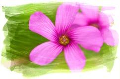 Fiore acquerello di oxalis fotografie stock libere da diritti
