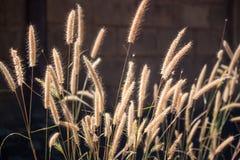 Fiore adorabile dell'erba in prato, Tailandia immagine stock libera da diritti