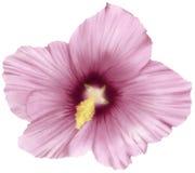 Fiore adorabile dell'ibisco Fotografia Stock Libera da Diritti