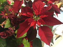 Fiore adorabile di Natale fotografia stock