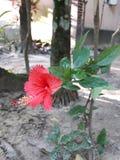 Fiore adorabile nel villaggio del Bangladesh Soltanto un singolo fiore per amore fotografie stock libere da diritti
