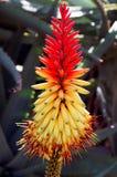 Fiore africano dell'aloe (africana dell'aloe) Fotografia Stock