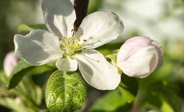 Fiore agli alberi del aple nel giardino di primavera fotografia stock