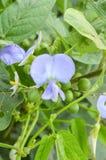 Fiore alato del fagiolo Immagini Stock Libere da Diritti