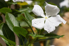 Fiore alba di catharanthus roseus Immagini Stock