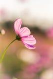 Fiore all'aperto dell'universo Fotografie Stock