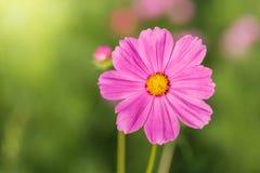 Fiore all'aperto dell'universo Immagini Stock