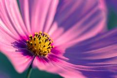 Fiore all'aperto dell'universo Fotografia Stock