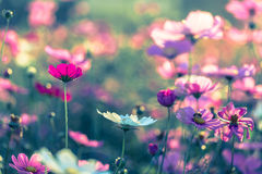 Fiore all'aperto dell'universo Immagini Stock Libere da Diritti