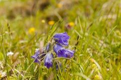 Fiore - alpina della campanula Fotografie Stock Libere da Diritti