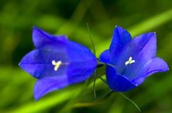 Fiore alpino blu Immagine Stock Libera da Diritti