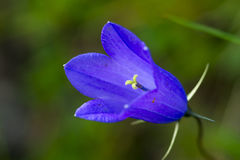 Fiore alpino blu Fotografie Stock Libere da Diritti
