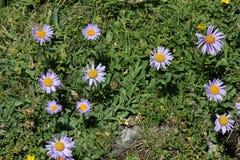 Fiore alpino dell'aster Immagini Stock Libere da Diritti