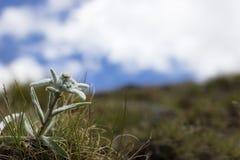 Fiore alpino, edelweiss di alpinum del Leontopodium con il cielo nuvoloso come fondo Copi lo spazio Immagine Stock Libera da Diritti