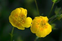 Fiore alpino giallo Fotografia Stock Libera da Diritti