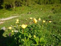 Fiore alpino giallo nel blosom Immagini Stock Libere da Diritti