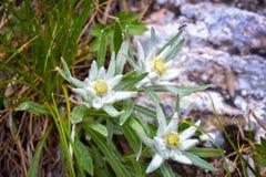 Fiore alpino in montagne di Ceahlau, Romania dell'edelweiss Immagine Stock