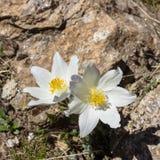 Fiore alpino, Pulsatilla Alpina con le rocce come fondo, la valle d'Aosta Italia Fotografia Stock