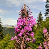 Fiore alpino rosa Fotografia Stock
