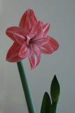 Fiore Amaryllis rosa e bianco Arkivbilder