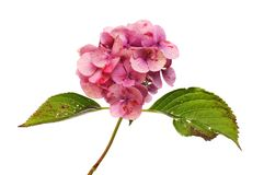 Fiore appassente dell'ortensia immagini stock libere da diritti