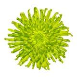 Fiore appuntito della dalia di verde di calce isolato immagine stock libera da diritti