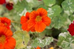 Fiore arancio immagine stock libera da diritti