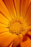 Fiore arancio Fotografie Stock Libere da Diritti
